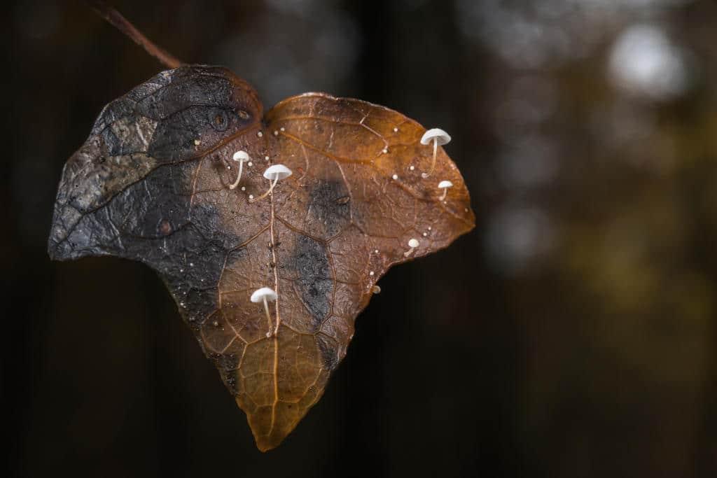 Marasmius epiphylloïdes - Marasme sur feuille de lierre
