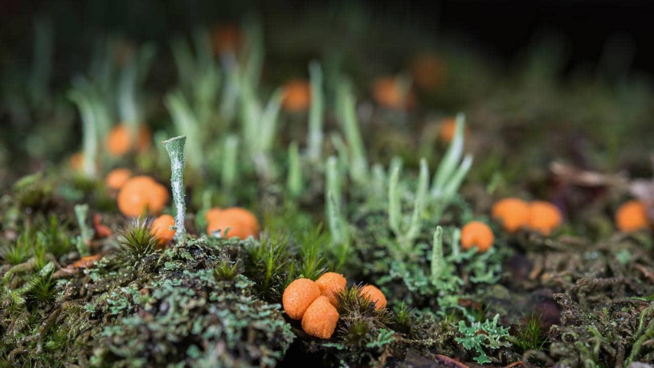 Small landscape : Cladonia sp  et Lycogala epidendrum