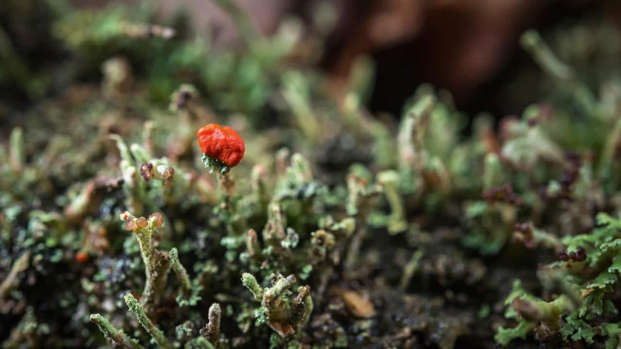 Cladonia sp. fructification