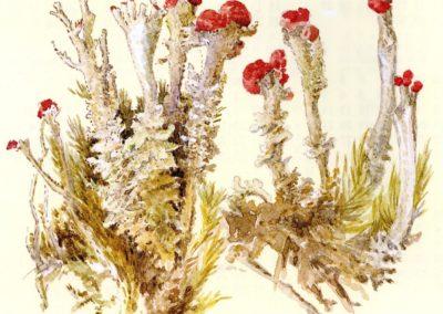 Aquarelle de lichen (Cladonia) de Beatrix Potter